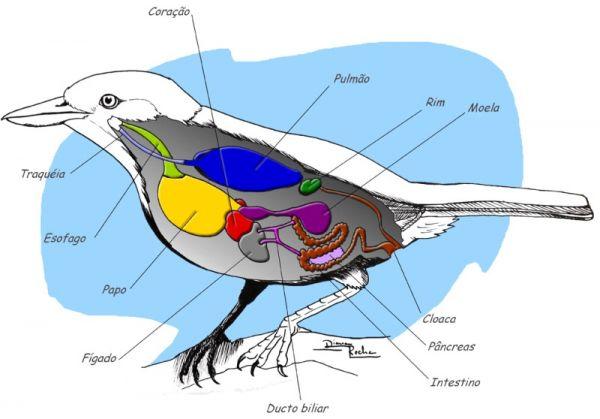 Morfologia das Aves | WikiAves - A Enciclopédia das Aves do Brasil